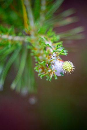 Pine Foaming